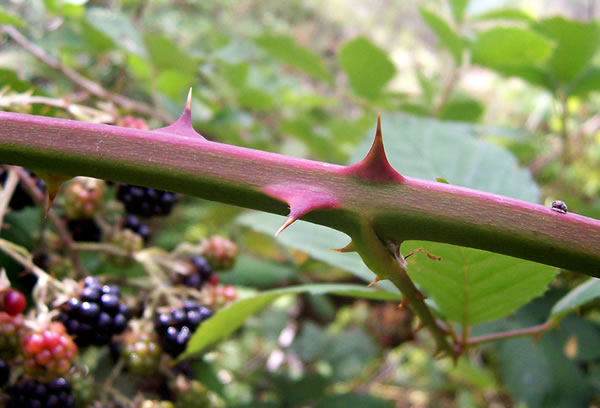 Blackberry Thorns for Windows